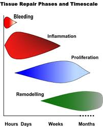 tissue repair phases and timescale
